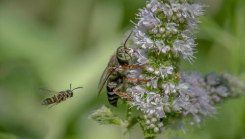 Humped Beewolf  Sand Loving Wasp 8.5 7.5 7.5 23.5 GPP Greg Alderson  Nature Gold