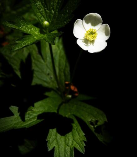 Canada Anemone 6.5 5.5 6 18 Marino Favretto  Nature Silver