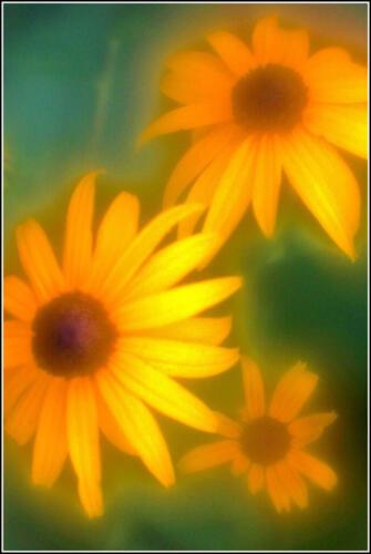 Black-Eyed Susan 7 6 7.5 20.5 James Hamilton  Pictorial Gold