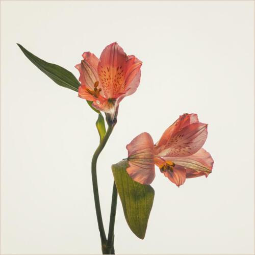 Alstroemeria Pair 7.5 7.5 7.5 22.5 Judy Boufford  Pictorial Gold
