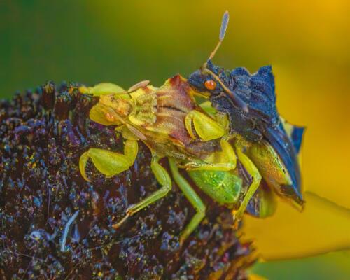 Ambush Bug Pair 7.5 6.5 7 21 Geoff Dunn  Nature Gold