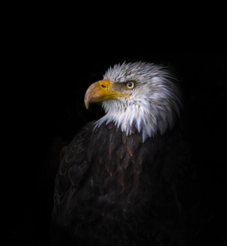 Bald Eagle Portrait 7.5 7 8 22.5 Bertin Francoeur  Pictorial Gold