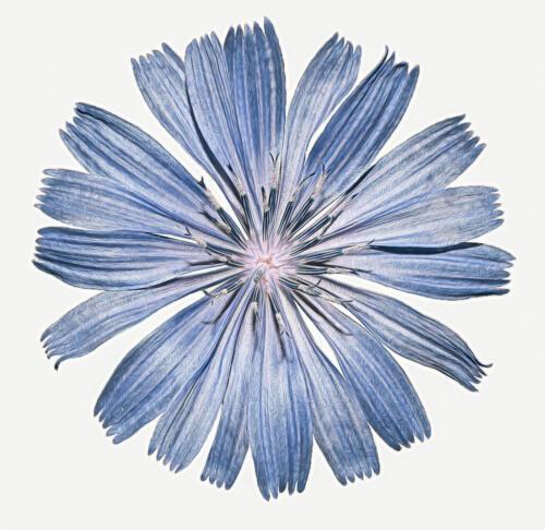 Chicory Flower 7 9 7.5 23.5 GPP Elzbieta Piskorz  Pictorial Gold