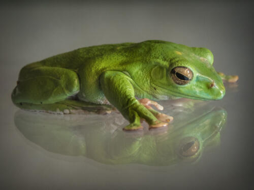 Chinese Gliding Frog At Rbg 8 7 7.5 22.5 SPP Annemarie Toth-Waddell  Pictorial Silver