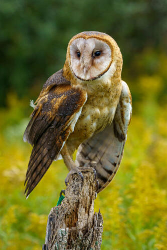 Barn Owl 7.5 7 8 22.5 Andy Langs  Nature Gold