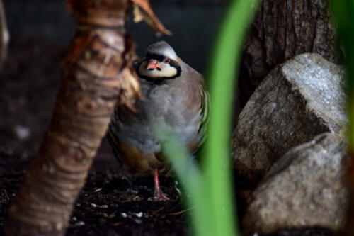 Cautious Chukar Partridge 6.5 5 6.5 18 Jordan Wright  Nature Bronze
