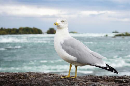 Ring-Billed Gull By The Falls 7 6.5 7.5 21 BPP Jordan Wright  Nature Bronze