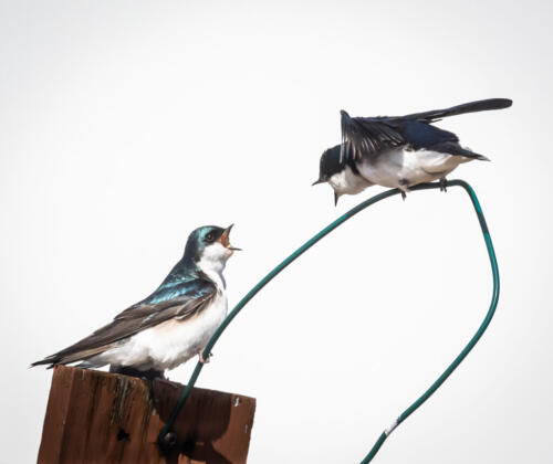 Swallows 7.5 7 6.5 21 Mike Mulvale  Nature Silver