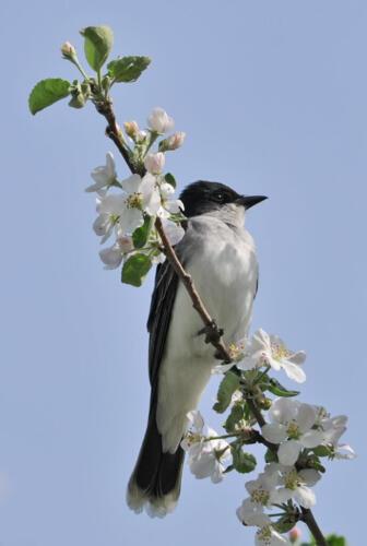 Eastern Kingbird 7.5 6.5 7.5 21.5 Heather Engel  Nature Master