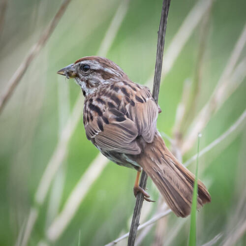 Song Sparrow 8 7 7.5 22.5 SPP Mike Mulvale  Nature Silver