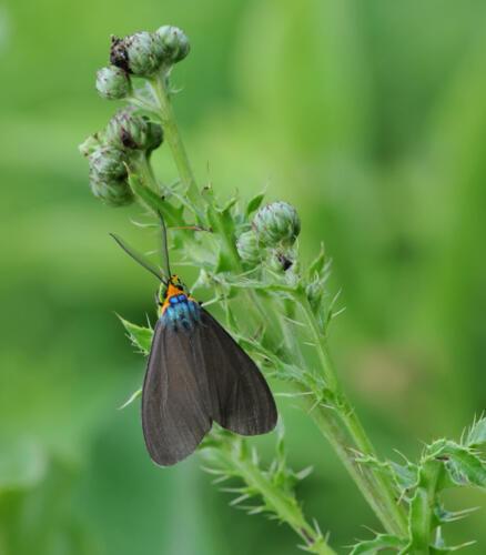 Ctenucha Moth 8 7.5 7 22.5 Heather Engel  Nature Master