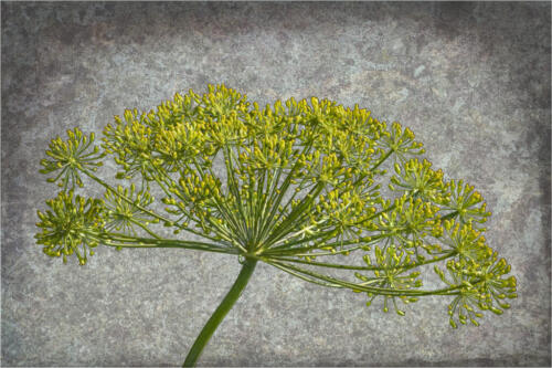 Dill Weed #2 7 7 7.5 21.5 Don Poulton  Creative Master