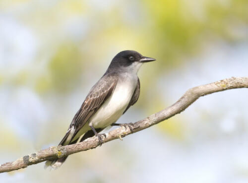 Eastern Kingbird 7 7.5 8 22.5 Pat Wintemute  Nature Gold