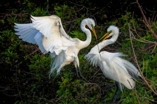 Egrets Building Nest 7.5 9.5 8.5 25.5 TC GPP Geoff Dunn  Nature Gold