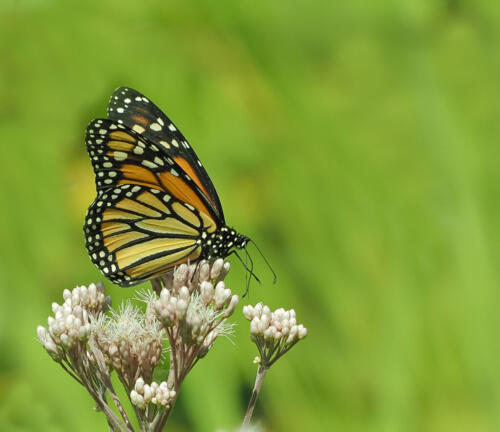 Monarch Butterfly  7 7.5 7 21.5 Colleen Bird  Nature Gold