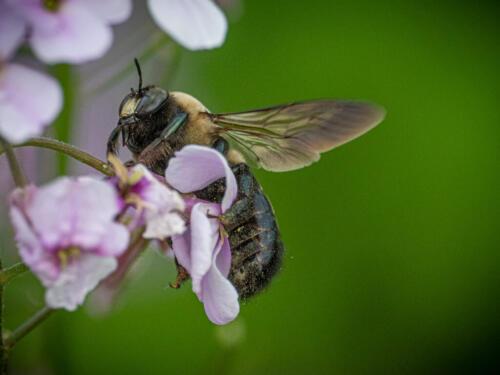 Bumblebee On Dame'S Rocket 7.5 6.5 7.5 21.5 John Strung  Nature Gold