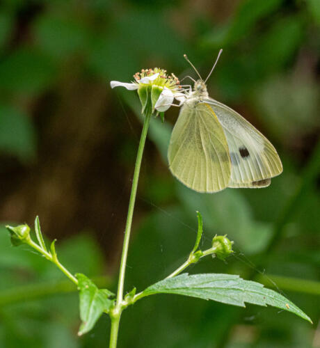 Cabbage White Butterfly 7.5 7.5 7.5 22.5 John Strung  Nature Gold