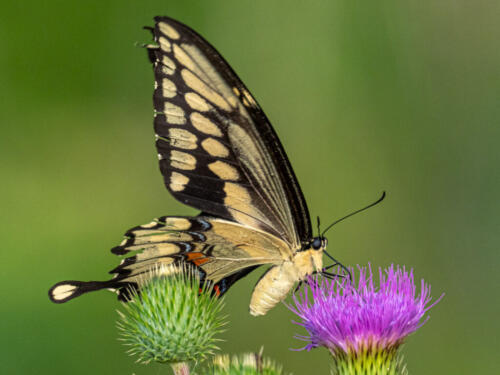 Common Swallowtail Butterfly 7 6.5 7.5 21 John Strung  Nature Gold