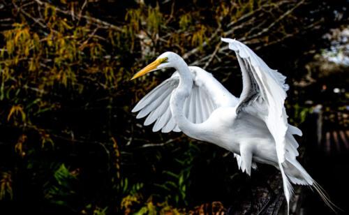 Great Egret 7 7 7 21 Herb McClelland  Nature Gold