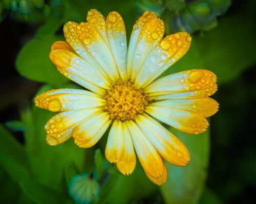 Garden Marigold 7.5 7.5 7.5 22.5 Kathryn Martin  Pictorial Master