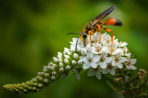 Great Golden Digger Wasp 10 9.5 8.5 28 TC DP Kathryn Martin  Nature Master