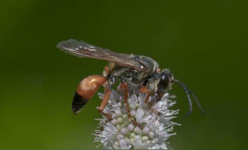 Great Golden Digger Wasp 7 7 7.5 21.5 Greg Alderson  Nature Gold