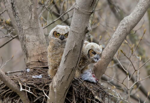 Great Horned Owlets 7 7 8.5 22.5 Pat Wintemute  Nature Gold