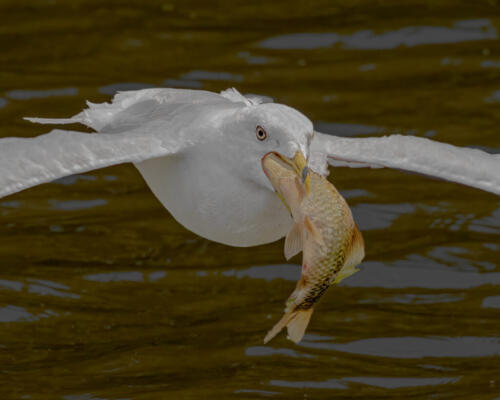 Ring Billed Gull With Fish 7.5 8 8 23.5 GPP Geoff Dunn  Nature Gold
