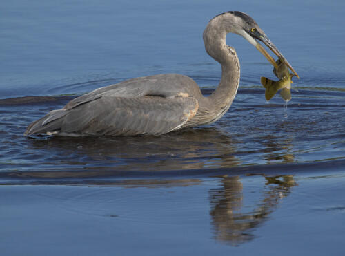 Heron Spearing Fish 8.5 8 8 24.5 HM DP David Seldon  Nature Master