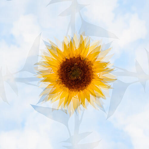 Sunflower By In Camera Multiples 7 7.5 7 21.5 Kathryn Martin  Creative Master