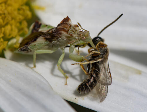 Jagged Ambush Bug Eat Furrow Bee 9 7.5 7.5 24 HM GPP Greg Alderson  Nature Gold