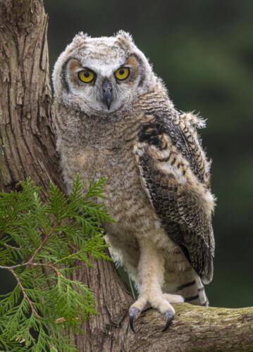 Juvenile Great Horned Owl #2 8 7.5 8 23.5 Don Poulton  Nature Master