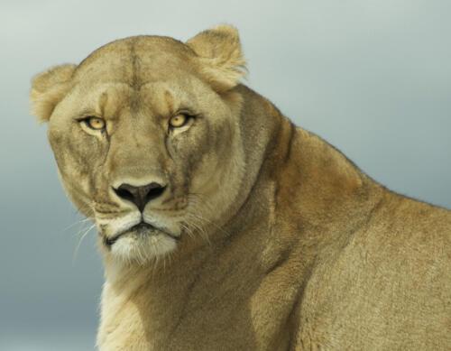 Lioness 9 7.5 7.5 24 DP Leonie Holmes FCAPA  Nature Master