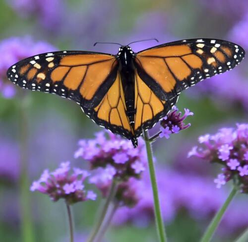 Monarch On Flower 7.5 7.5 7 22 Leonie Holmes FCAPA  Nature Master