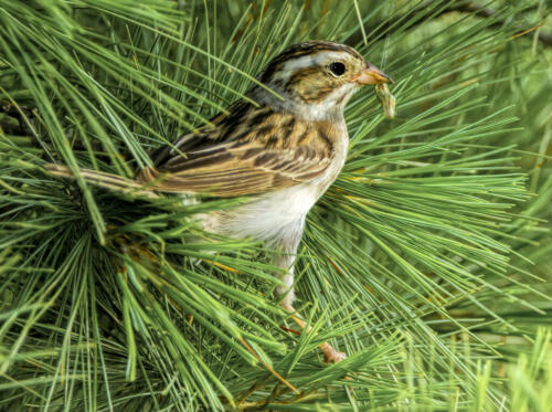 Clay Colored Sparrow 8 6.5 8 22.5 Gary Love  Nature Master