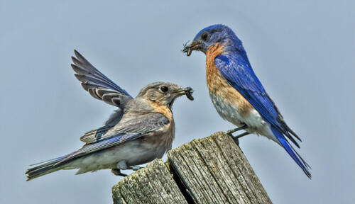 Eastern Bluebird 8 8.5 7.5 24 DP Gary Love  Nature Master