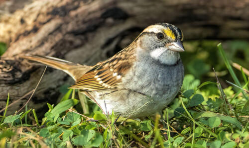 White Throated Sparrow 7 7 7 21 Gary Love  Nature Master