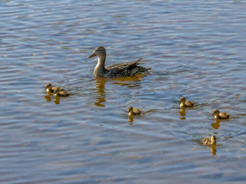 Mallard Duck Family 7 7 8 22 Terry Ross-Poulton  Nature Gold
