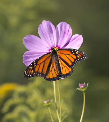 Monarch Butterfly 8.5 9 7.5 25 HM GPP Pat Wintemute  Nature Gold