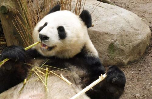 Panda Feeding 7 5.5 7 19.5 Roy Oldfield  Pictorial Gold