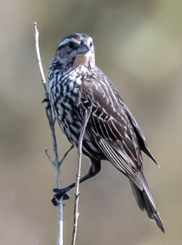 Red-Winged Blackbird Female 6.5 6 7 19.5 Herb McClelland  Nature Gold