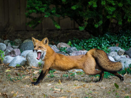 Red Fox 9 8 7.5 24.5 HM SPP Annemarie Toth-Waddell  Pictorial Silver