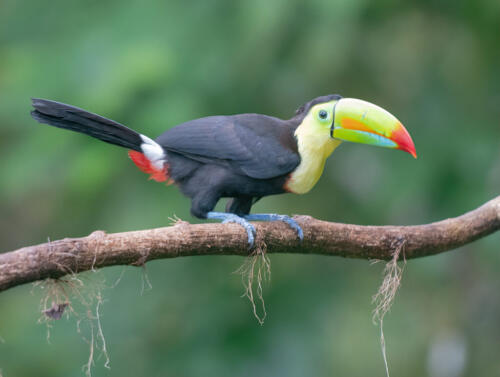 Keel Billed Toucan 6 8 8 22 Judy Boufford  Nature Gold
