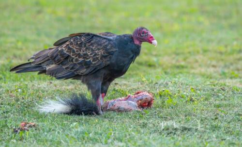 Turkey Vulture 7.5 8.5 8 24 HM GPP Bertin Francoeur  Nature Gold