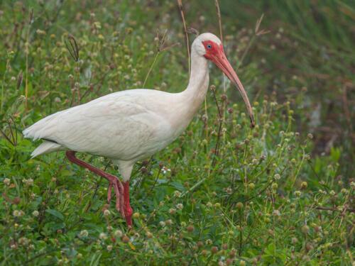 White Ibis In Habitat 7.5 7.5 7 22 Terry Ross-Poulton  Nature Gold