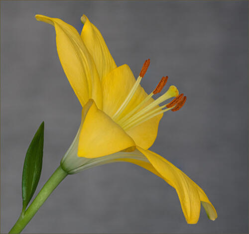 Yellow Lilly 10 8 7 25 HM GPP Judy Boufford  Pictorial Gold