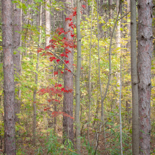 Fall Flavours Of Copeland Forest 7 7 7.5 21.5 BPP John Kerr  Pictorial Bronze