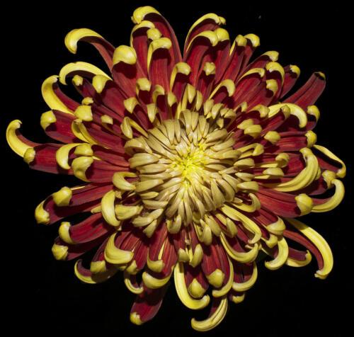 St. Tropez Chrisanthemum 7.5 8 8 23.5 HM GPP Elzbieta Piskorz  Pictorial Gold