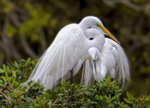 Great Egret 6 6.5 6.5 19 Gary Love  Nature Master