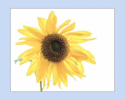 Sunflower 7 9 7 23 Kathryn Martin  Pictorial Master